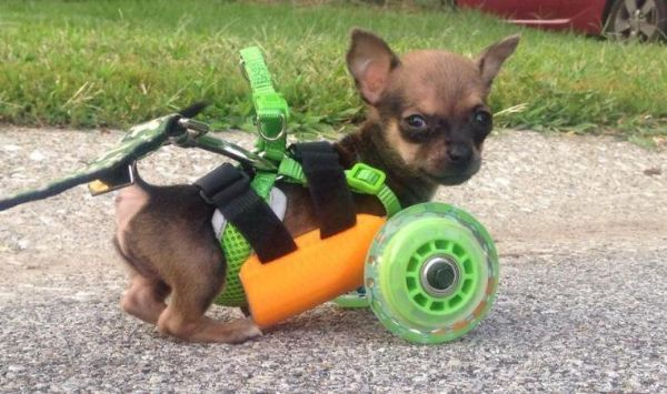 장애 강아지, 3D 프린터 덕에 걷다 - 지디넷코리아